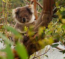 Koala  by Joe Mortelliti