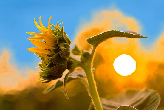 Sun(flower) rise by Miodrag Bogdanovic
