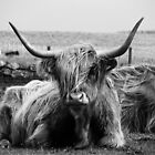 Highland Coo on the Island of Tiree by Julie Paterson