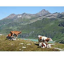 Dairy Cows High Up On A Mountain Photographic Print