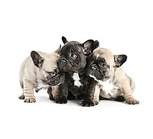 Frenchie Pals Photographic Print