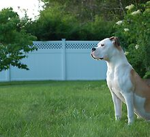 American Bulldog by John Pacifico