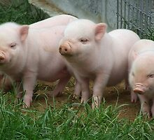 Hill 60 Pigs by Mark Wilson