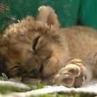 Lion cub sleeping by Victoria  Morgan