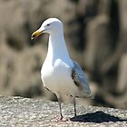 Lesser Black Backed Gull by Alfy