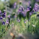 Bluebells above Rydal water Rydal Lake District England 198405200013 by Fred Mitchell