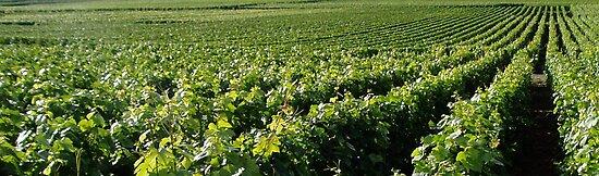 Champange Vineyards by adam