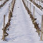 Rhone Valley Vineyard in Winter by adam