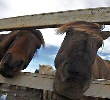 Icelandic Horses by awkwardrobot