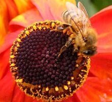 Bee on flower by CarolineMannix