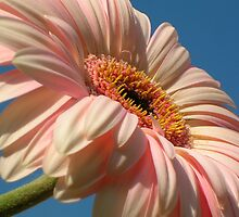 Peach Gerbera On Blue Sky by Justine Butler - daisybluesky.co.uk Tel: 07969 444962