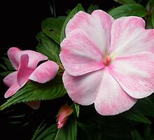 New Guinea Impatiens - Impatiens x hawkeri by MotherNature