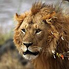 Cat: Large Male Lion Looking Intently as He Comes Out of the Bush, Maasai Mara, Kenya  by Carole-Anne