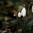 Snowdrops by finkycake
