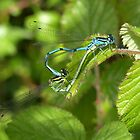 Damselflies mating by LisaRoberts