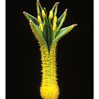 "'Kangaroo Paw' from the series ""Inner Bloom"" by Paul Cotelli"