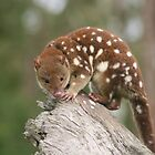 Quoll by minniemanx