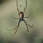 Golden Orb Web Spider by Judy Harland