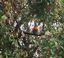 Rainbow Lorikeet having a feast from the  LilyPily tree  by lettie1957
