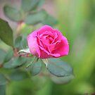 Last Rose by Bob Hardy