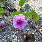 Florida Morning Glory, Indian Rocks Beach, Florida by organic