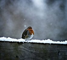 Solitary Robin by douglaswood