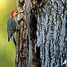 Red Bellied Woodpecker Stashing ACorns by imagetj