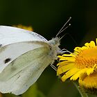 Small White Butterfly by Neil Bygrave (NATURELENS)