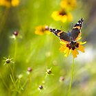 Red Admiral Butterfly by cfu123