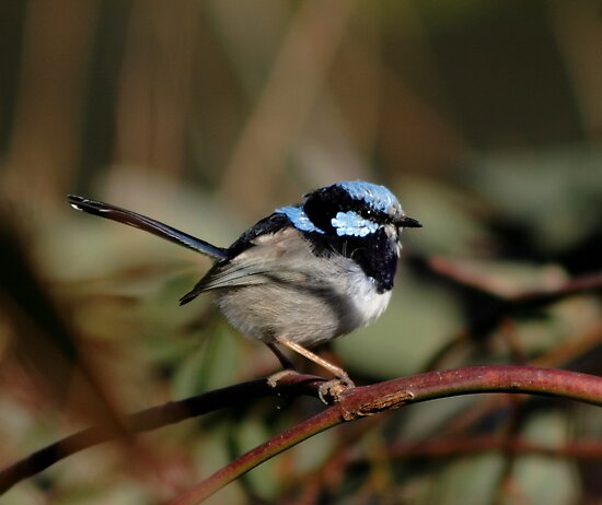 Superb Fairy Wren by Debra LINKEVICS