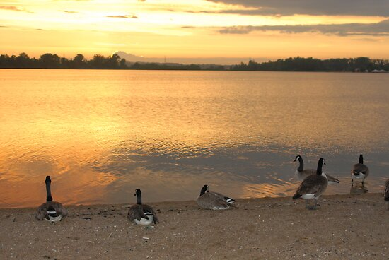 Geese Enjoying a Golden Sunset by daydremr