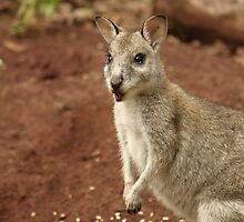 Pretty Face Wallaby by minniemanx
