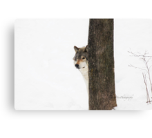 Hide and Seek! - Timber Wolf Canvas Print