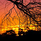 Salix Tortuosa (tortured willow) at Sunset. by SherbrookePhoto