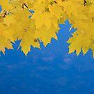 Maple Leaf Curtains by Adam Bykowski