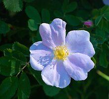 White Rose by Randall Talbot