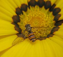 Hoverfly at Rest by Edward Gunn