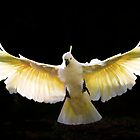 Sulphur crested cockatoo in flight (backlit) by Sheila  Smart