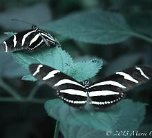 Zebra Longwing Butterflies by Marie  Cardona