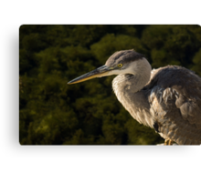 Focused Hunter - a Great Blue Heron Watching for Fish Canvas Print
