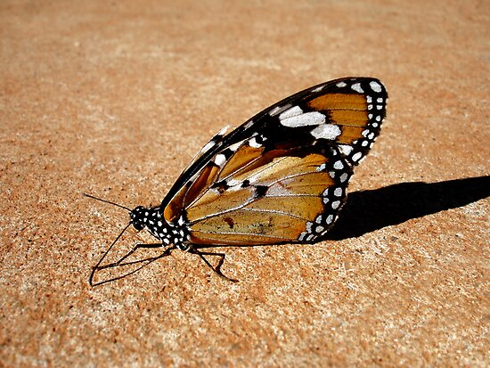 Butterfly by Patrick Steen