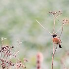 Male Stonechat by Ashley Beolens
