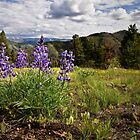 Mountain Lupines by Kathy Weaver