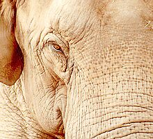 Elephant Portrait by Paul Reay