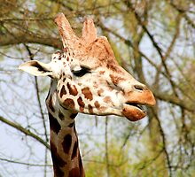 Giraffe portrait by Paul Reay