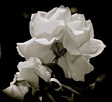 Simplicity- White rose on black by BBrightman