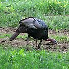 Eastern Wild Turkey by Gary L   Suddath