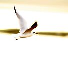 Seagull in flight by Paul Reay