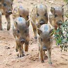 Baby Boar Running by HolidayMurcia