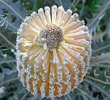 Banksia beauty by Susan Moss